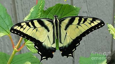 Painting - Tiger Swallowtail by LeRoy Jesfield
