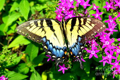Photograph - Tiger Swallowtail by Lew Davis