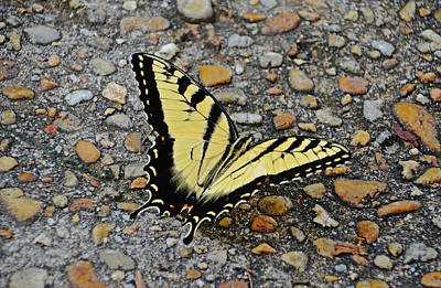 Photograph - Tiger Swallowtail by Linda Brown
