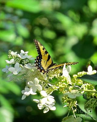 Photograph - Tiger Swallowtail  by Nancy Patterson