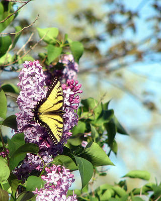 Photograph - Tiger Swallowtail On Lilacs by George Jones