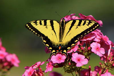 Photograph - Tiger Swallowtail On Phlox by John Burk
