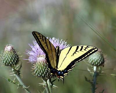 Photograph - Tiger Swallowtail On Thistle 1 by George Jones
