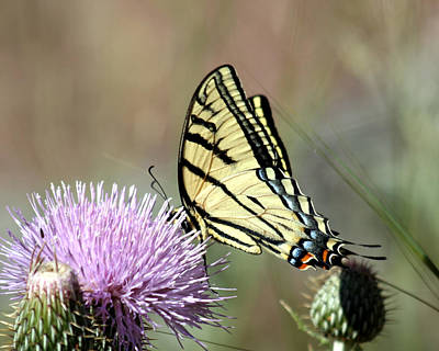 Photograph - Tiger Swallowtail On Thistle 2 by George Jones