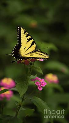 Photograph - Tiger Swallowtail by Sandra Clark