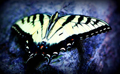 Photograph - Tiger Swallowtail by Susie Weaver