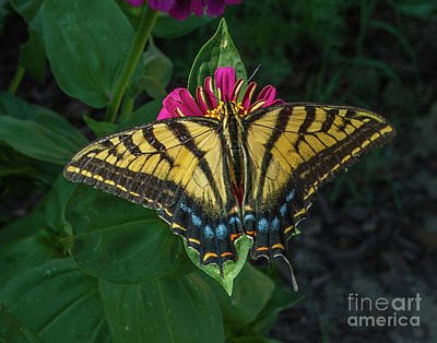 Photograph - Tiger Swallowtail by Tony Baca