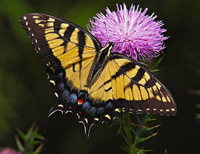 Photograph - Tiger Swallowtail by William Jobes
