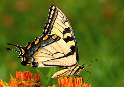 Tiger Swallowtail Wings Closed Original by Alan Lenk