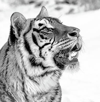 Photograph - Tiger Teeth Black And White by Athena Mckinzie