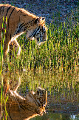 Refection Photograph - Tiger Tiger Burning Bright by Melody Watson