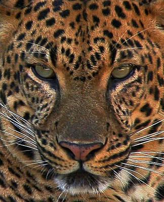 Photograph - Tiger Tiger by Carol Kinkead