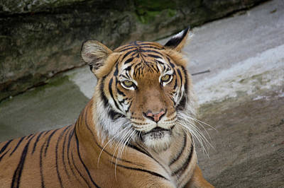 Photograph - Tiger Tiger by John Black