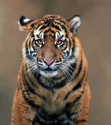 Photograph - Tiger Time by Art Cole