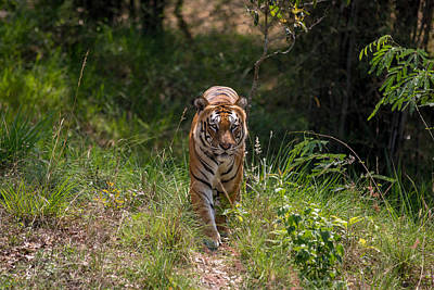 Photograph - Tiger Trail by Ramabhadran Thirupattur