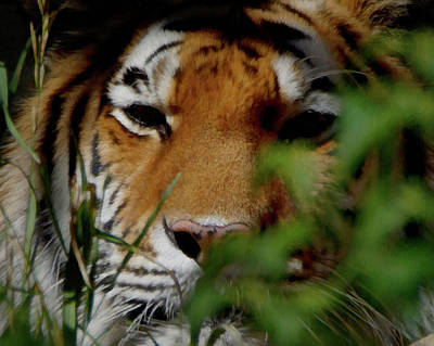 Digital Art - Tiger Waiting by Ernie Echols
