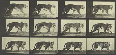Eadwerd Photograph - Tiger Walking by Eadweard Muybridge