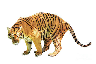 Photograph - Tiger White Background by Benny Marty