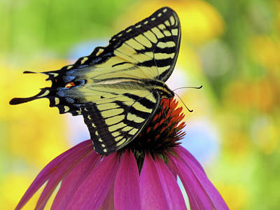Photograph - Tiger Wings 2 - Butterfly by MTBobbins Photography