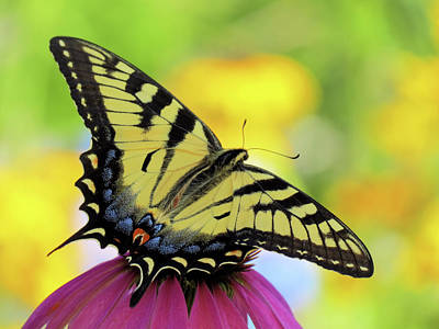 Photograph - Tiger Wings - Butterfly by MTBobbins Photography