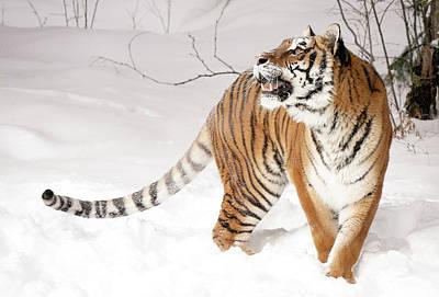 Photograph - Tiger Winter by Athena Mckinzie