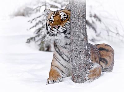 Photograph - Tiger Winter Wonderland by Athena Mckinzie