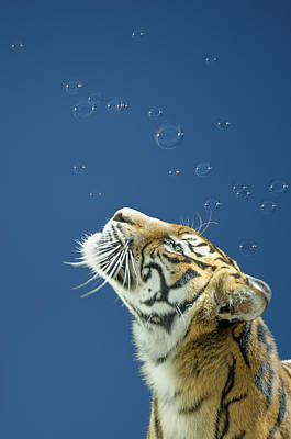 Manipulation Photograph - Tiger With Bubbles by Margaret Goodwin