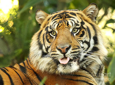 Photograph - Tiger With Playful Expression by Max Allen