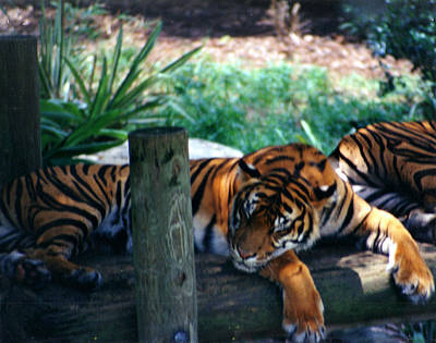Tigers Sleeping Art Print by Steve  Heit