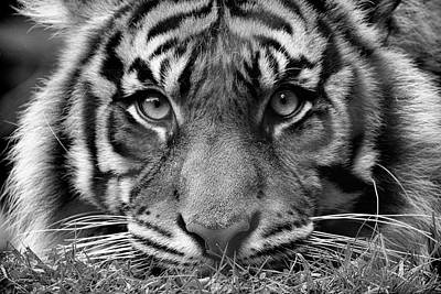 Photograph - Tigers Stare  by Steve McKinzie