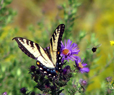Photograph - Tigerswallowtail And Bee Painting by George Jones