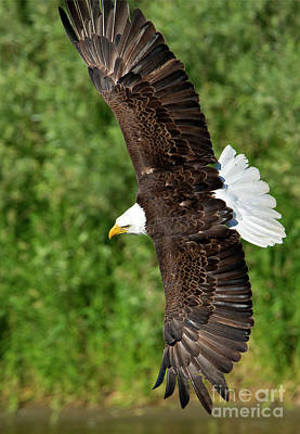 Eagle Photograph - Tight Turn by Mike Dawson
