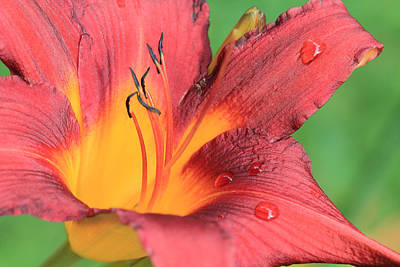 Photograph - Tiger Lily After The Rain by Angela Murdock