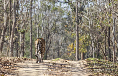Photograph - Tigress Walking Along A Track In Sal Forest Pench Tiger Reserve India by Liz Leyden