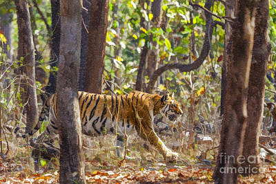 Digital Art - Tigress Walking Through Sal Forest In Pench Tiger Reserve  India by Liz Leyden