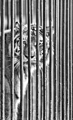 Tijuana Photograph - Tijuana City Zoo Tiger by Dennis Sullivan