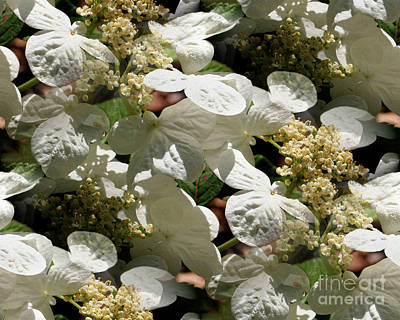 Art Print featuring the photograph Tiled White Lace Cap Hydrangeas by Smilin Eyes  Treasures