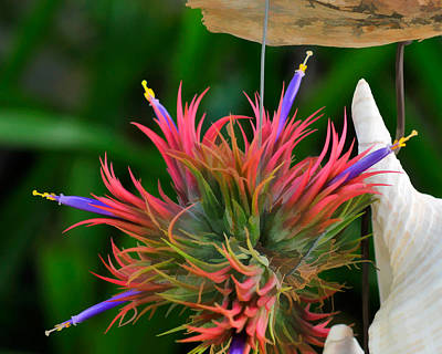 Photograph - Tillandisa Ionantha Air Plant by Ginger Wakem