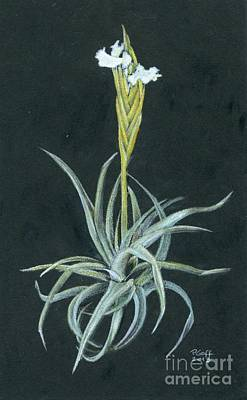 Painting - Tillandsia Diaguitensis by Penrith Goff