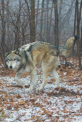 Wolves Photograph - Timber In The Woods by Michael Barry
