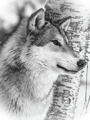 Photograph - Timber Wolf by Athena Mckinzie