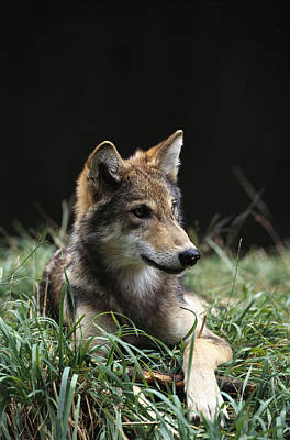 Wolves Photograph - Timber Wolf Canis Lupus Portrait by Gerry Ellis