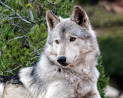 Photograph - Timber Wolf by Dawn Key