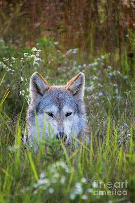 Photograph - Timber Wolf In The Evening Meadow by Sharon McConnell