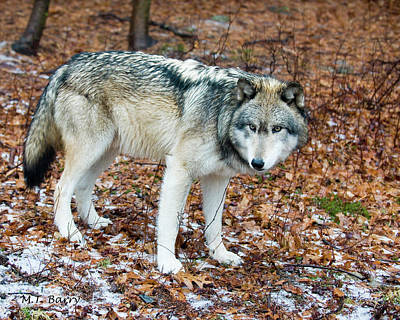 Wolf Photograph - Timber Wolf In Woods by Michael Barry