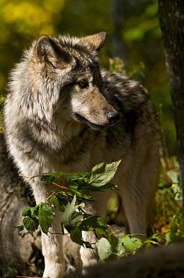 Print featuring the photograph Timber Wolf by Michael Cummings