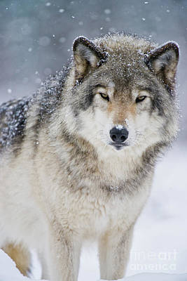 Photograph - Timber Wolf Picture - Tw282 by Wolves Only