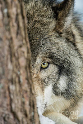 Photograph - Timber Wolf Picture - Tw285 by Wolves Only