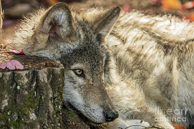 Photograph - Timber Wolf Picture - Tw287 by Wolves Only