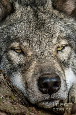 Photograph - Timber Wolf Picture - Tw288 by Wolves Only